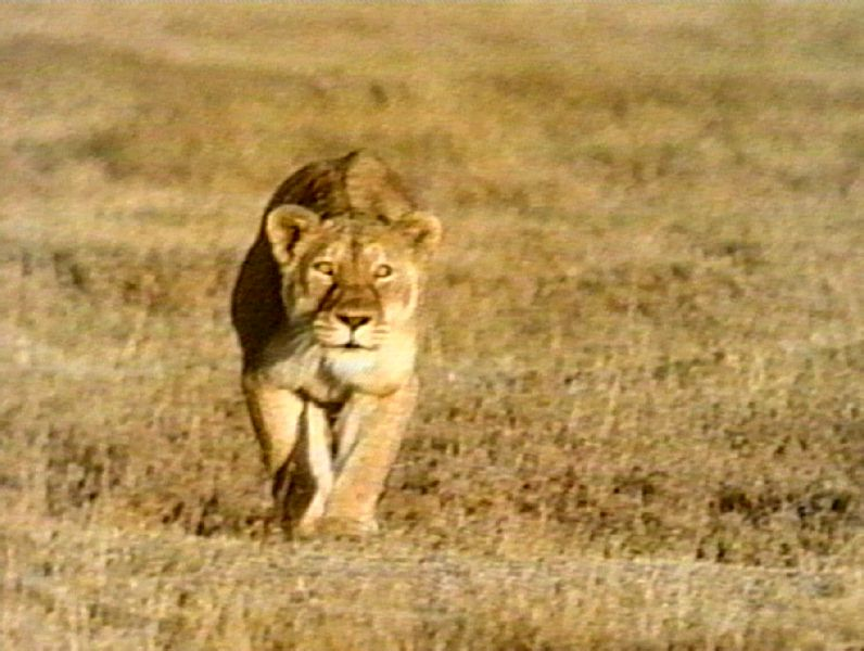 Lioness Front View Leopard Hunting Prey P...