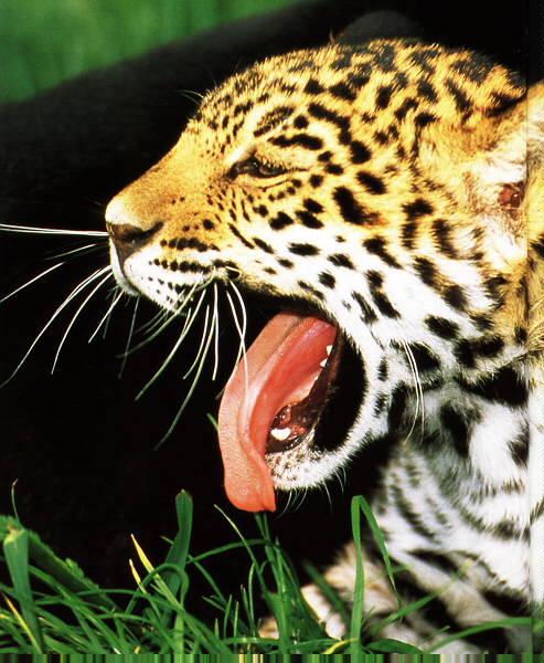 Jaguar Roaring: Yawning & Roaring Big Cats